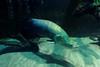 Arapaima (France Ecologie Energie) Tags: paris zoo animaux arapaima arapaimagigas zoodevincennes zoodeparis zoodecologne arapaïma