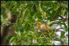 Yellow Footed Green Pigeon (bodhijobs) Tags: yellowfooted green pigeon eos 7d ef100400mm canon birds ndmc delhi garden lodi