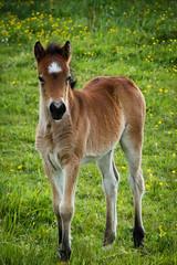 Ecuries Ar Koued Aour (Baptiste Renou) Tags: horse cheval poulain