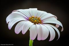 Flower (Baljinder.Gill) Tags: flowers white nature whiteflower nikon flowerpetals naturephotography flowerphotography
