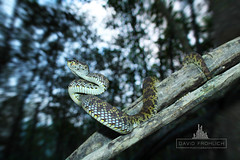 Mangrove Pit Viper (davidfrohlich) Tags: wallpaper nature animals snake wildlife pit mangrove viper snakes
