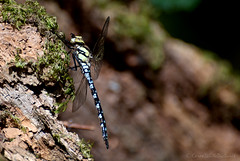 southern hawker (immature male) (sure2talk) Tags: southernhawker immaturemale newforest nikond60 nikkor70300mmf4556afsifedvr