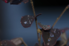 Test shot 2 (bigbluewolf) Tags: sigma 105mm f28 ex dg os hsm macro nikon d7000 leaves leaf water drops droplets flash