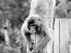 Macaca fuscata --  Japanese Macaque 1277 (Tangled Bank) Tags: asahiyama zoo zoological gardens hokkaido japan primate macaca fuscata japanese macaques 1272 monkey snow