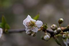 Blossom branch , #Green , #Nature , #Petals , #blossom , #color , #Light , #composition , #interesting , #Photographer , #Photography , #Macro , #closeup , #upclose , #Stamen , #white , #delicate , #Botanical , #beautiful , #bokeh , #Park , #season , #spr (jwzw@ymail.com) Tags: blossom branch green nature petals color light composition interesting photographer photography macro closeup upclose stamen white delicate botanical beautiful bokeh park season spring sunshine flowers garden outdoor blur exposure flora
