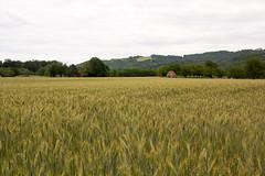 Graanveld (Theo Bauhuis) Tags: graan graanveld cornfield grain cropland champ crales dordogne france frankrijk landscape landschap weids panoramic