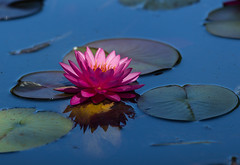 Burning on blue (Irina1010) Tags: flower waterlily pink reflections lilypods water pond blue nature canon ngc npc