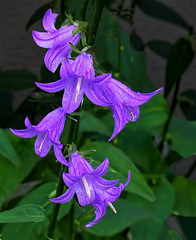 Harebells (Campanula rotundifolia) (Ruth Voorhis) Tags: blossoms plants flowers leaves foliage
