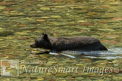 Black Bear swimming Tekiela 735A9373 (Stan Tekiela's Nature Smart Wildlife Images) Tags: allrightsreserved authornaturalistwildlifephotographer blackbearursusamericanus mammals vertebrates vertibrate mammalia fur hair terrestrial land animal naturesmartimagesbystantekiela stantekiela copyright allrightsreservered stockimage professionalphotographer images wildlife animals nature naturalist wild stockphotos digitalimages critter stockimages river swimming