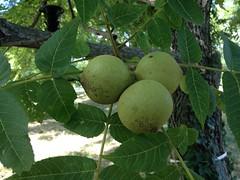 3669BlackWalnutFruit (sampers56) Tags: nuts black walnut juglans nigra