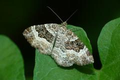 Epirrhoe alternata (Geometridae) (Rodolfo Giunta) Tags: macro raynox 250 fz45 germany rodolfogiunta hagen lepidotteri insetti lepidoptera insect closeup moth falena moths heterocera