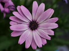 African Marguerite (vanstaffs) Tags: flower flora marguerite africandaisy