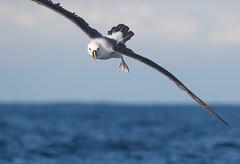 Landing gear down (christinaportphotography) Tags: indianyellownosedalbatross thalassarchecarteri albatross mollymawk pelagic swansea nsw australia bird birds wild free flying foot