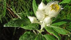 Xerochrysum bracteatum_1 (Tony Markham) Tags: asteraceae wollongong everlasting illawarra mountkembla xerochrysumbracteatum illawarraescarpmentstateconservationarea kemblaheights mountkemblaridgetrack