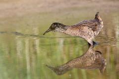 rle d'eau ( Rallus aquaticus ) Erdeven 160811s2 (pap alain) Tags: oiseaux chassiers rallids rledeau rallusaquaticus waterrail erdeven morbihan bretagne france