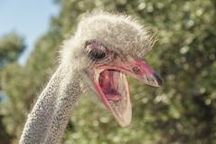 Granja Aventura y Alquzar (11) (Fernando Soguero) Tags: avestruz ostrych avestruzloca crazyostrych granjaaventura barbastro somontano huesca animales animals