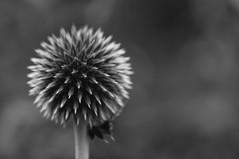 Hidden Depths (Richie Rue) Tags: nikond300 outdoors mono monochrome blackandwhite plant flowers flora ball sphere spherical orb spikes spikey