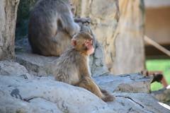 2016 北海道D6 4x6 3259 (chaochun777) Tags: 北海道 旭山 動物園 露營 自由行 猴子 長臂猿 猩猩 雲豹 花豹 老虎 獅子 北極熊 企鵝
