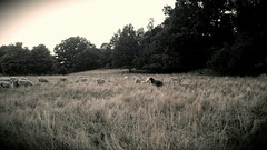 A black sheep (therapyprojects (AWAY)) Tags: bw black grass mobile nature photo sheep summer trees