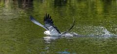 Swallow-tail Kite (jcfa_photography) Tags: swallowtailkite florida raptor skimming