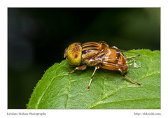 Spot Eyed Hoverfly (drkrishi) Tags: akruthi arthropoda asia dakshinakannada diptera eristalinae eristalini eristalinus hoverflies india insecta karnataka moodabidri syrphidae sflowerflies spoteyedflowerfly spoteyedhoverfly spoteyedsyrphidflies syrphidflies in