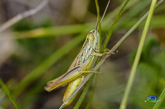 Grasshopper (Simone_Callegari) Tags: tag non valido grasshopper details dettagli detail gree verde 105 105mm d7000 nikon animali animale insetti insetto insects animals insect animal nature micro super macro cavalletta