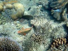 Fish in the coral Michaelmas Cay (dracophylla) Tags: michaelmascay greatbarrierreef queensland australia