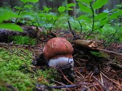 Leccinum vulpinum (primordium) (Dochac - Meteorologist) Tags: fungus fungi funghi mushrooms pilzen hongos champignons dolomiti woods boschi dolomites bosco wild nature natura leccinum vulpinum leccinumvulpinum