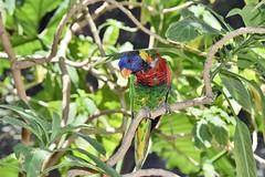 San Diego Safari Park Lorikeet (GMLSKIS) Tags: sandiego safaripark california bird lorikeet nikond750