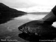 Loch Awe Roach (Rutilus rutilus) (liamearth) Tags: fish fishing scotland argyll loch awe lochawe roach freshwater lake calm nature wildlife species river angling ichthyology animal scottish bw water