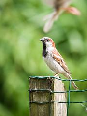 160710_153103_P3740794.jpg (millipod) Tags: birds mus sparrow spatz lelystad flevoland netherlands