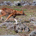 Ethiopian wolf, plateau of the Bale mountains national park