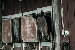 Horses (LooreEST) Tags: mane stable naturephoto nature pet horse wooden old windows brownhorse wood window