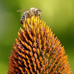 Over the Hill (brian.bemmels) Tags: honey bee honeybee apis coneflower echinacea cone flower