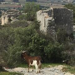 chvre au chateau (thiery49) Tags: lubron chevre chateau fort castel