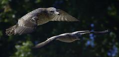 In Flight (swong95765) Tags: gull seagulls flying flight bokeh birdss