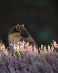 Pine marten (Mike Mckenzie8) Tags: martes scotland scottish wild wildlife british uk mammal nocturnal heather sunset plant sun summer