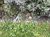 2016-09-18 at 16-48-10 (Mollivan Jon) Tags: weedcontrol newzealand christchurch miscellaneouskeywords cracroftreserve dyerspassroad southisland signofthetakahe places herbicide mollivan weedmanagement cashmere canterbury iphonesebackcamera415mmf22
