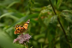 curious (JoannaRB2009) Tags: closeup macro butterfly insect nature flower summer green plant miliczponds lowersilesia stawymilickie dolnyśląsk dolinabaryczy