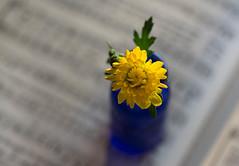 Summer's Last Song (Captured Heart) Tags: summer flower yellowflowers cobaltblue song summersong hymnal stilllife