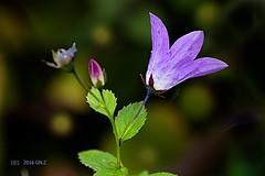 Last campanula flower this year (Greet N.) Tags: plant flower blue garden autumn september light bokeh macro