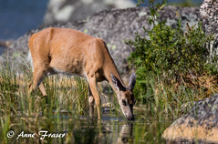 A peaceful moment... (Anne Marie Fraser) Tags: deer water drink peaceful moment nature wildlife wild pond beautiful doe