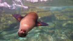 Baby sea lion just wanna have fun (Eye of Brice Retailleau) Tags: animal animals fauna composition perspective nature outdoor colours colourful wildlife animaladdiction fantasticwildlife extrieur landscape paysage seal sealion underwater scubadiving bajacalifornia mexico angle upsidedown