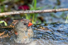 2016 Very Wet Cardinal 3 (DrLensCap) Tags: very wet cardinal montrose point bird sanctuary chicago illinois il northern robert kramer