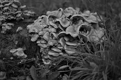 Hypholoma capnoides (8/50) (Kevin Krebs) Tags: 5050 burnaby mushroom