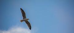 Gull (Bilel Tayar) Tags: gull bird sky animal nature mouette mediterannee mer sea