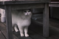 Beau (lordgogurt) Tags: cat kitty fur cute animal feline pet whiskers outdoor outdoors white table yard patio balcony porch