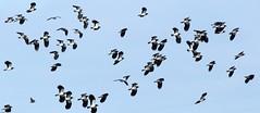 Lapwings at Greylake (Cosper Wosper) Tags: lapwing