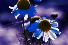 Baldersbr (evisdotter) Tags: baldersbr baldrsbrow wildchamomile tripleurospermuminodorum flowers blommor light macro bokeh nature dew dagg