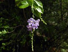 Duranta repens L. 1753 (VERBENACEAE) (helicongus) Tags: durantarepens duranta verbenaceae costarica durantaerecta